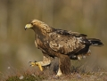 04_golden_eagle-maakotka