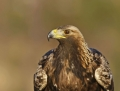14_golden_eagle-maakotka
