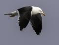 Lesser black-backed gull - selkälokki