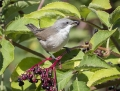 Lesser whitethroat - hernekerttu