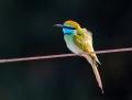 Little bee-eater - pikkumehiläissyöjä