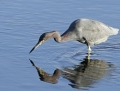 Little blue heron - sinihaikara