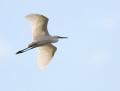 Little egret - silkkihaikara
