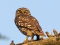 Little owl - minervanpöllö