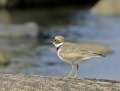 Little ringed plover - pikkutylli