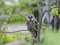 Long-eared owl - sarvipöllö