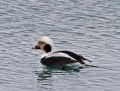 Long-tailed duck - alli