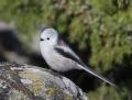 Long-tailed tit - pyrstötiainen