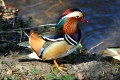 Mandarin duck - mandariinisorsa