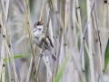 Marsh warbler - luhtakerttunen