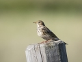 Meadow pipit - niittykirvinen