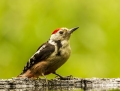 Middle spotted woodpecker - tammitikka