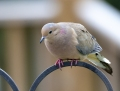 Mourning dove - vaikertajakyyhky