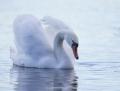 Mute swan - kyhmyjoutsen