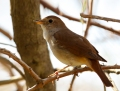Nightingale - etelänsatakieli