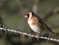Goldfinch - tikli