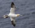Gannets, cormorants, pelicans etc.