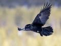 Northern raven - korppi