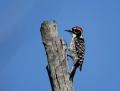 Nuttall's woodpecker - kaliforniantikka