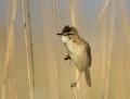 Paddyfield warbler - kenttäkerttunen
