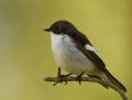 Pied flycatcher - kirjosieppo