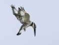Pied kingfisher - kirjokalastaja
