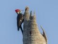 Pileated woodpecker - ameerikanpalokärki
