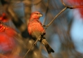 Pine grosbeak - taviokuurna