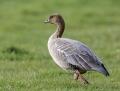 Pinkfooted goose - luhytnokkahanhi
