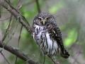 Pygmy owl - varpuspöllö