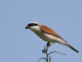 Red-backed shrike - pikkulepinkäinen