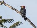 Red-bellied woodpecker - tammiraitatikka