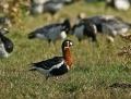 Red-breasted goose - punakaulahanhi