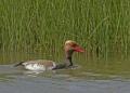 Red-crested pochard - punapäänarsku