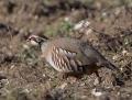 Red-legged partridge - punapyy