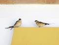 Red-rumped swallow - ruostepääsky
