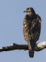 Red-shouldered Hawk - ruostehiirihaukka