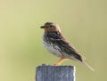 Red-throated pipit - lapinkirvinen