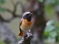 Redstart - leppälintu