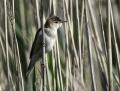 Reed warbler - rytikerttunen