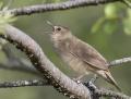 Locustella warblers