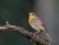 Robin - punarinta