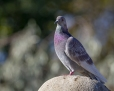 Rock dove - kesykyyhky