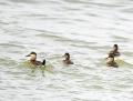 Ruddy duck - kuparisorsa
