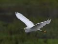 10-snowy-egret1010a
