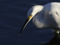 12-snowy-egret1010k