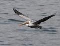 31-brown-pelican1010d