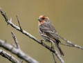 45-house-finch1010a