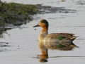 5-green-winged-teal1010b