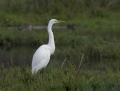 55-great-egret1010a